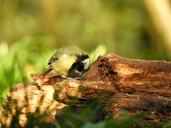 Great Tit (LouisaHocking) Tags: forestganol forest cardiff southwales wales nature wild bird british gardenbird tit greattit wildlife