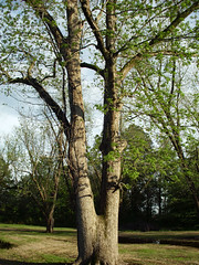 Tree At Northeast Park. (dccradio) Tags: lumberton nc northcarolina robesoncounty outdoor outdoors outside nature natural park citypark raymondbpenningtonathleticcomplex penningtonathleticcomplex northeastpark april weekend saturday saturdaynight saturdayevening evening goodevening spring springtime hp hewlettpackard hpdsccb350 tree trees treebranch branch branches treebranches treelimb treelimbs sky eveningsky