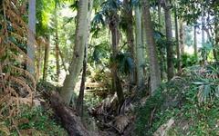 Cabbage Tree Palm (Livistona australis) (Poytr) Tags: middlecreek narrabeen narrabeenlakes sydneyrainforest sydneyaustralia rainforest coachwood ceratopetalumapetalum cunoniaceae cabbagetreepalm livistonaaustralis livistona arecaceae palm arfp nswrfp warmtemperatearf warmtemperaterainforest invasivespeciesiarf