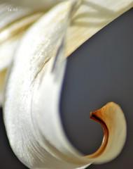 Nature courbe (EmArt baudry) Tags: macro flower focus fleur courbe curved pétale petal nikon nikonmacrolens blanc white nacré nacreous lumineux shiny emart