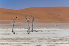 _RJS4636 (rjsnyc2) Tags: 2019 africa d850 desert dunes landscape namibia nikon outdoors photography remoteyear richardsilver richardsilverphoto safari sand sanddune travel travelphotographer animal camping nature tent trees wildlife