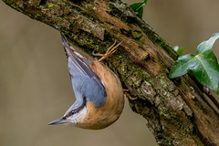 DSC5777  Nuthatch.. (Jeff Lack Wildlife&Nature) Tags: nuthatch nuthatches birds avian animal animals wildlife wildbirds wetlands woodlands wildlifephotography jefflackphotography hedgerows trees bark woods woodland farmland forest forests forestry gardenbirds songbirds countryside nature