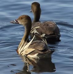 Plumed Whistling-duck (Dendrocygna eytoni) (iainrmacaulay) Tags: bird australia plumed whistlingduck dendrocygna eytoni
