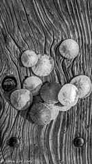 Sand Dollar Treasure (lorinleecary) Tags: california beach tabletop monochrome 24thstreet woodtable cayucos sanddollars blackandwhite centralcoastcalifornia shells