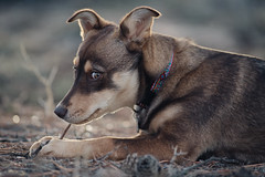 Always watching (M///S///H) Tags: 300mm 300mmf4l lenstagger bokeh canine canonfd chew cute dog newmexico pupper puppy stella taos