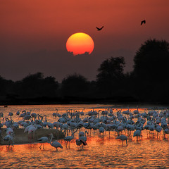 Flamingo Lake - Al Qudra - Dubai (keltia17) Tags: sunset coucherdesoleil flamands flamingo dubai uae eau birds gold goldenhour sky orange red rouge oiseaux
