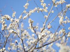 白梅 (white plum) (Paul_ (shin.ogata)) Tags: 千葉 chiba すいらん グリーンパーク suiran green park 梅 plum 白 white sakura cherry blossoms 桜