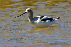 American-Avocet_01 (DonBantumPhotography.com) Tags: wildlife nature animals birds donbantumcom donbantumphotographycom waterbirds americanavocet waterfowl