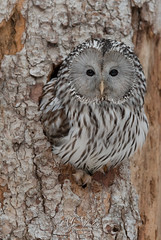 ural owl (fire111) Tags: owl ural oeraluil wildlife photographing bird birding tree