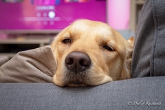 cozy (D.Reichardt) Tags: europe germany animal dog goldenretriever cozy couch cute dof