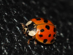 Spring 2019 Lady Beetle DSCF1552 (Ted_Roger_Karson) Tags: ladybeetle fujifilmxs1 raynoxdcr150 northernillinois handheldcamera fujifilm xs1 raynox dcr150 compound eyes faceted super macro held camera northern illinois honey flying sloitary flowers thisisexcellent lens flowerhead yard friends twop bug hd fuji m150 macroscopic pollen animal outdoor insect pollinator plant depth field backyard animals garden compoundeyesfacetedeyes sooc