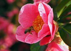 collecting on the camellia (Johnson Cameraface) Tags: 2019 march olympus omde1 em1 micro43 mzuiko 1240mm f28 johnsoncameraface sheffieldbotanicalgardens camellia flower bee botanical winter