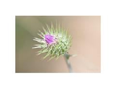 Capullo de cardota. (EFD-fotolab) Tags: naturaleza efdfotolab macrofotografia nikkor105mm nikond610 nikon minimalismo macro españa primavera2019 floressilvestres flowers cardota