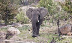 Elephant -8339 (Theo Locher) Tags: elephant loxodontaafricana olifant zoogdieren southafrica zuidafrika krugernationalpark kruger copyrighttheolocher