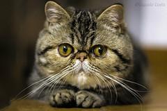 Miu, la mia gattina / Miu, my cat (Eugenio GV Costa) Tags: gatto cat gatti cats animal animali domestici