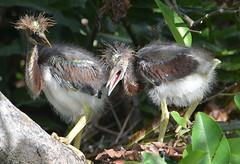 BEAUTY PARLOR NEEDED (concep1941) Tags: birds butoridesvirescens heron family ponds streams marshes mangroves wakodahatcheewetlands