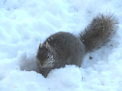 Gray Squirrel Digs Snow IMG_1869 (Ted_Roger_Karson) Tags: canonpowershotsx280hs handheldcamera northernillinois snow canon powershot sx280 hs northern illinois hand held camera back yard feeder friends miniature compact pocket seed cake zoom animals suet telephoto thisisexcellent twop test photo minicompact food squirrel