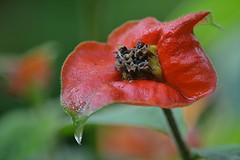 Dewy Hot Lips (jungle mama) Tags: red hotlips drying tropical wingsofthetropics fairchildtropicalbotanicgarden fairchildgarden susanfordcollins labiousdeputa psychotriapeoppigiana coth coth5