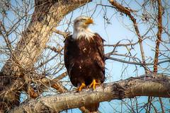 American Bald Eagle (jimmy.stewart40) Tags: wildlife eagle baldeagle birdofprey raptor perched treelimb sky blue american bald