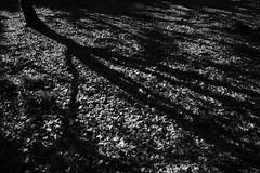 20181124 Sobue 3 (BONGURI) Tags: 一宮市 愛知県 日本 jp bw monochrome blackandwhite 白黒 モノクロ モノクローム shadow light sunlight 影 明かり 太陽光 spotlight スポット光 スポットライト 木漏れ日 gingko イチョウ 銀杏 いちょう leaf leaves 葉 葉っぱ dark 暗い tree 木々 樹木 sobue 祖父江 inazawa 稲沢 aichi 愛知 nikon df afsnikkor2485mmf3545gedvr