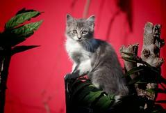 Gatito en el árbol (mcg0011) Tags: gato gatito cat kitty cute kat katze katt kot neko manuelcarrasco 200 mascota pet feline felino