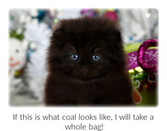 Cute Kittens (dollfacepersiankittens.com) Tags: persian kittens for sale doll face scottish fold black cats blackcats blackcatsofinstagram nationalblackcatday catsofinstagram catstagram catsofgoogle catsoftheworld catsoftumblr trisha johnson cat breeder