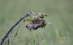 Groenling - Greenfinch - Carduelis chloris -5337 (Theo Locher) Tags: greenfinch groenling grünling verdierdeurope carduelischloris birds vogels vögel oiseaux netherlands nederland copyrighttheolocher