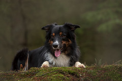 in forest (Flemming Andersen) Tags: yatzy dog bordercollie outdoor nature fog pet animal