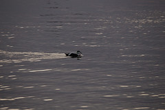 Duck and Cover - IMG_1926 (406highlander) Tags: aberdeenharbour water marine northsea aberdeen scotland bird birds avian avians waterfowl duck ducks eiderduck commoneider omateriamollissima sigma120400mmf4556apodgos canoneos6d ripple wave wake