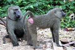 Baboons (jd.willson) Tags: jd willson jdwillson nature wildlife mammal primate baboon gombe national park tanzania africa