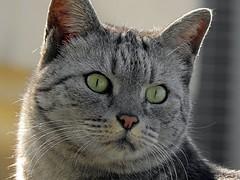 Green Eyes (qasim.cheema) Tags: animals cat cats feline portrait portraits catportrait catcloseup animal animalportraits animalportrait tabbycat domesticcat pet cute fur furry adorable catportraits petportraits petportrait