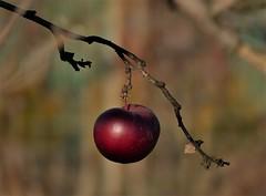 Last (Kaska Ppp) Tags: apple autumn red tree light sunlight