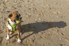 Reba and her Shadow (andreboeni) Tags: reba boxer dog chien hund perros dogs chiens hunden beach ball