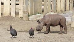 Baby Rhino (FitchDnld) Tags: blackrhinoceros black rhinoceros rhino animal mammal baby cleveland clevelandohio clevelandmetroparkszoo clevelandzoo clevelandmetroparks metroparks zoo ohio clevelandmetropakszoooctober222018 ohiozoo