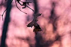 A Colorful Twilight In The Woods (filmcrazy1014) Tags: nikon forestoutdoor outdoor nature wildlife bokeh magical magicalpurple macro wood woods twilight sunset colorfulleaves leaf fallleaves leave leaves eveningsky sky color colorful brightcolors purple pink blur black shadows detail absract white