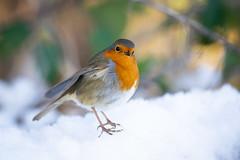 Robin in the snow (Susanne Leyh) Tags: robin europeanrobin bird animal wildlife nature outside outdoors rougegorge rotkehlchen vogel winter snow schnee nikon 300mm britishwildlife fauna