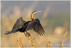 The Darter at Sunrise! (MAC's Wild Pixels) Tags: thedarteratsunrise africandarter anhingarufa bird waterbird wader birder birdlife birdwatcher birdperfect birdsofeastafrica birdlifephotography beautifulbird colourfulbird avian plumage feathers ornithology animal wildlife africanwildlife wildafrica wildanimal wildbird wildlifephotography sunrise goldenhour goldenlight safari boatride outdoors outofafrica nature naturephotography lakebaringo greatriftvalley kenya macswildpixels onexplore coth alittlebeauty specanimal natureinfocusgroup coth5 fantasticnature ngc npc