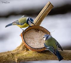 Blue tits on a snowy day (vickyouten) Tags: bluetits bluetit nature naturephotography wildlife britishwildlife wildlifephotography nikon nikond7200 nikonphotography sigma sigma150600mm sigma150600mmc penningtonflash leigh uk vickyouten
