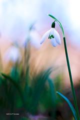 perce-neige (jpto_55) Tags: fleur proxi bokeh fuji fujifilm xt20 kiron105mmf28macro hautegaronne france ngc