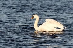 IMG_2466 (LezFoto) Tags: swan mute cygnusolor loirstonloch aberdeen scotland unitedkingdom canoneos700d sigma 700d canon 120400mmf4556dgapooshsm digitalslr dslr canonphotography sigmalens wings