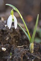Erstes Schneeglöckchen 2019-First Snowdrop 2019 (olds.wolfram) Tags: blume pflanze weis schneeglöckchen galanthus amaryllidaceae kleines blattspreite first snowdrop 2019