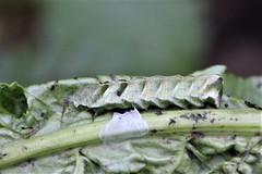 Caterpillar on Burdock leaf (Salamanderdance) Tags: insect larva caterpillar animal nature audubon