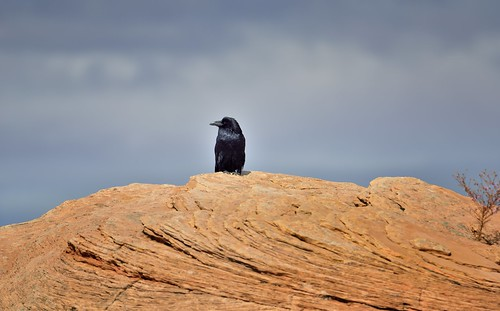 A Raven Perched on a High Rock (Canyonlands National Park)