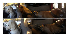Truck Pano Diptych (Robert Drozda) Tags: yukonterritory canada alaskahighway dogs musky brie wesley sandy truck panorama iphone6 phonecam beingthere fbxtopdx2018 drozda