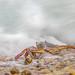 feeding behavior of a purple crab