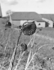 sunflowers 3 (Lennart Arendes) Tags: zenza bronica etrs kodak analog medium format 645 6x45 120 film sunflowers whithered winter black white trix 400 grain d76 outside flowers sky shadow highlights farm building