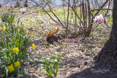 Springtime Foray (SteveFrazierPhotography.com) Tags: squirrel animal tail fur garden flowers blossom yellow pink pond stumps ground tree trunk grass springtime beautiful westernillinoisuniversity wiu campus stevefrazierphotography scene scenery