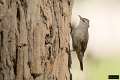 Brown Treecreeper (Climacteris picumnus) (Dave 2x) Tags: climacterispicumnus climacteris picumnus browntreecreeper brown treecreeper capertee nsw australia leastconcern endemic endemicspecies