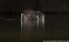 Otter (Alastair Marsh Photography) Tags: otter otters wildlife animal animalsintheirlandscape animals water mammal mammals mammalsociety britishwildlife britishanimals britishanimal britishmammals britishmammal night nightphotography nighttime wildlifeatnight nocturnal nocturnalwildlife nocturnalmammal nocturnalmammals