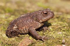 Bufo bufo - Common toad (henk.wallays) Tags: nature aaaa bufobufo bufo bufonidae amphibia chordata anura date year2019